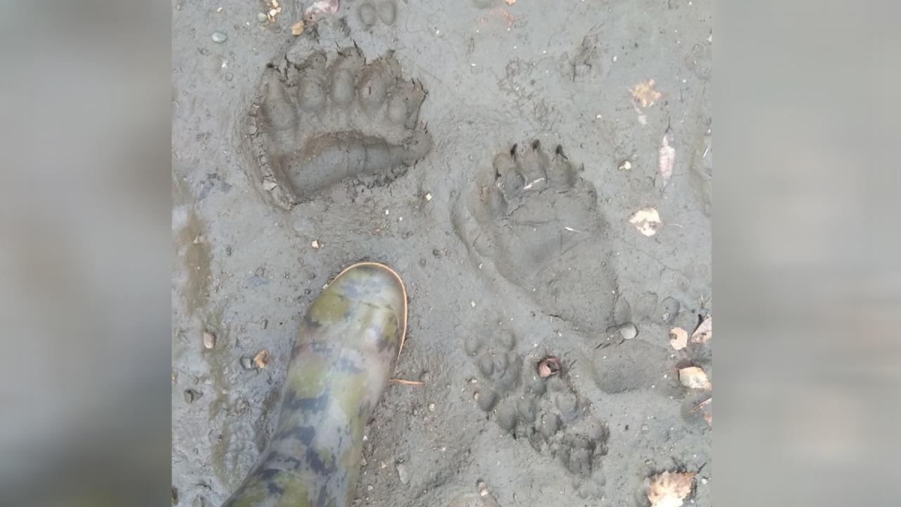 Голодные и сонные: в Челябинской области медведи разгуливают по лесам