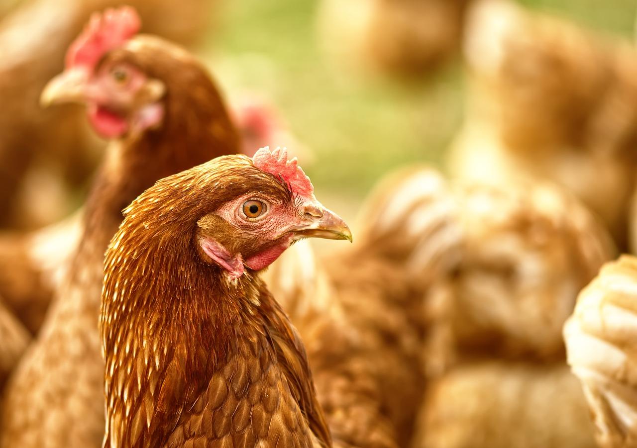 Антидепрессанты для кур и фиолетовый картофель: новые разработки представили аграрии Южного Урала