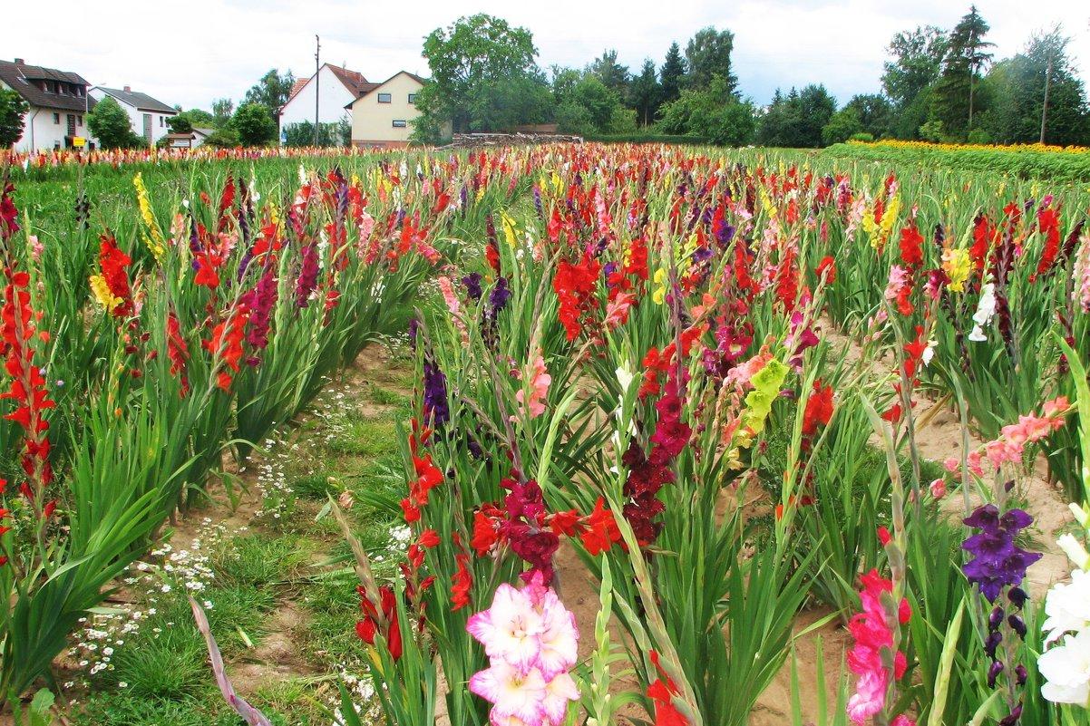Скоро зацветут: 130 сортов гладиолусов выращивает садовод из Челябинска