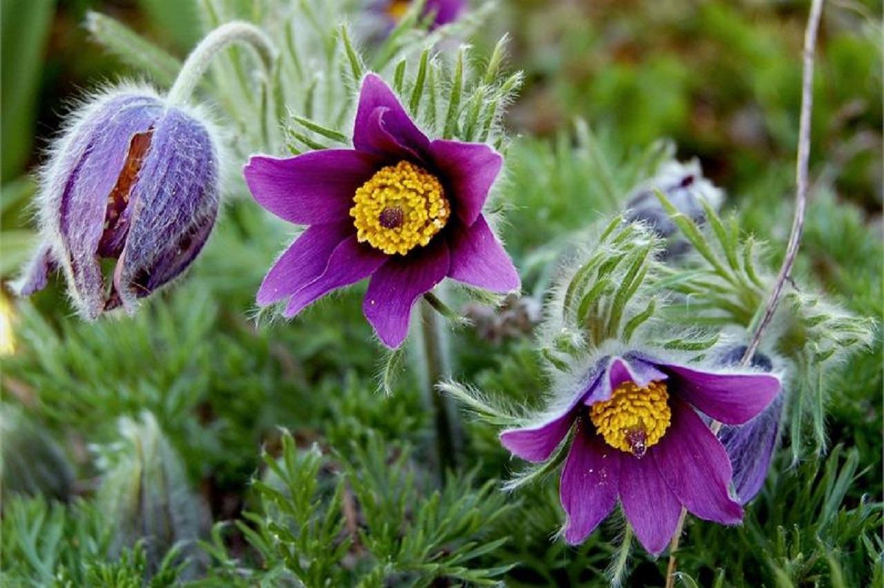 Лекарственные растения: 5 первоцветов, которые можно найти на Урале