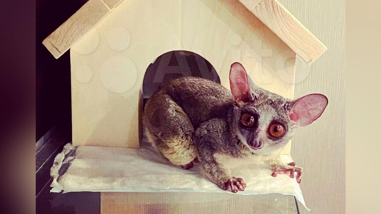Уши в трубочку: в Челябинске продают обезьянку-звезду Instagram