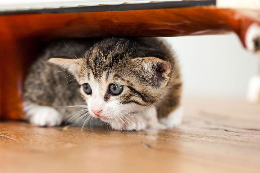 Пуле нужен дом. В Челябинске коту, истерзанному живодерами, ищут хозяина