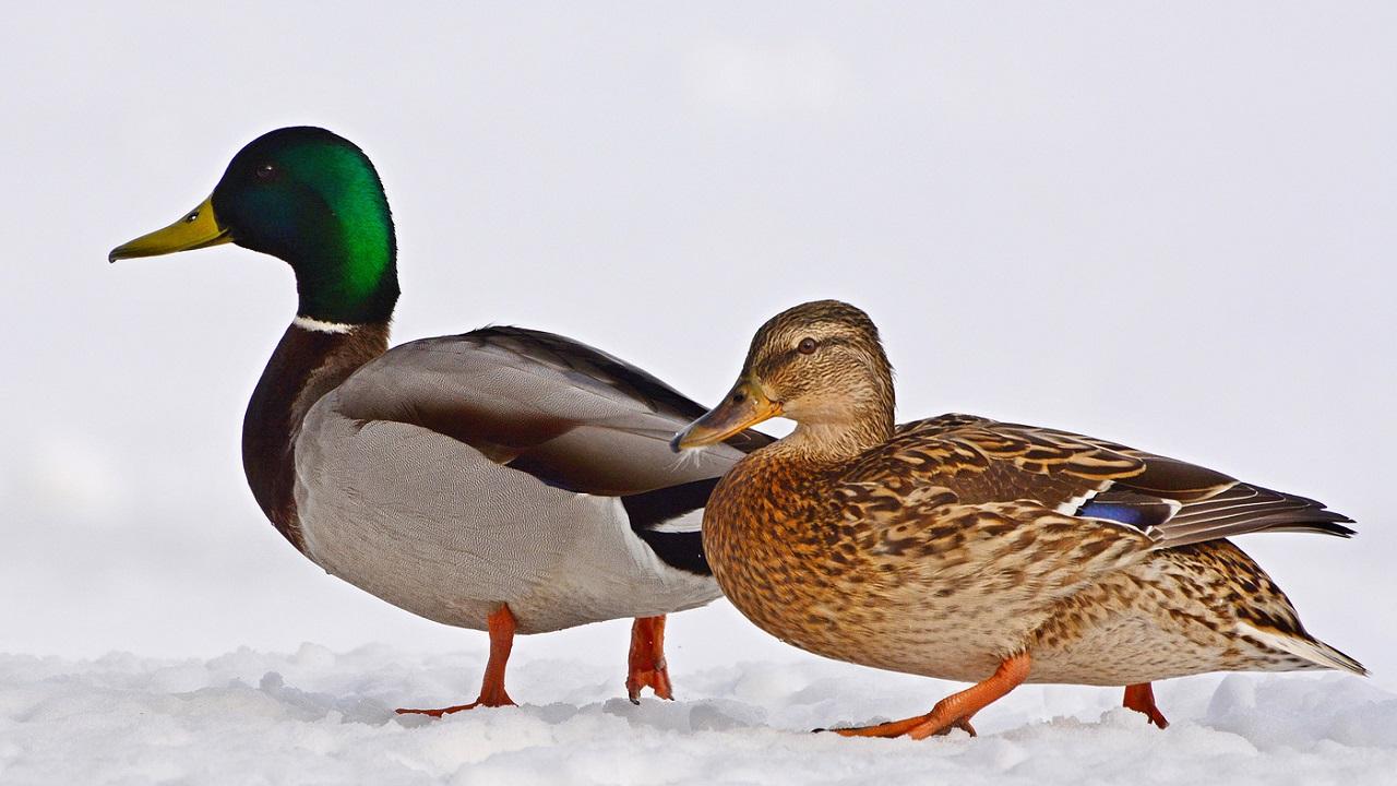 Птичку жалко: в Челябинске орнитологи выступили против утверждённых правил охоты