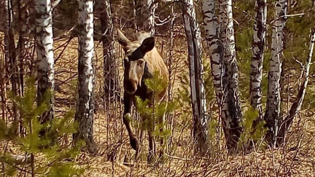 Новый друг человека: как любопытный лось на Урале экскурсию проводил ВИДЕО