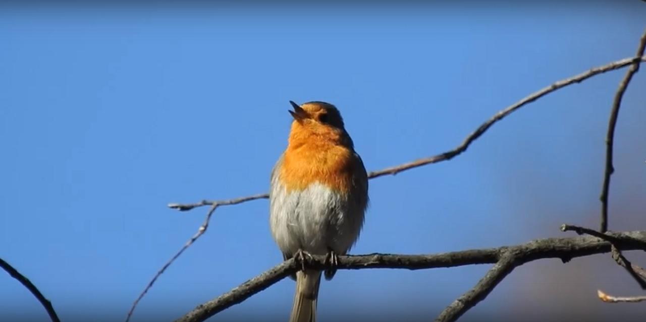 Глашатай весны: песня удивительной птицы заворожила южноуральцев ВИДЕО