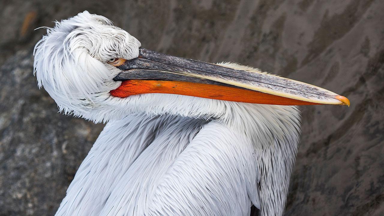 Они кудрявые: в Челябинскую область прилетели редкие пеликаны ВИДЕО