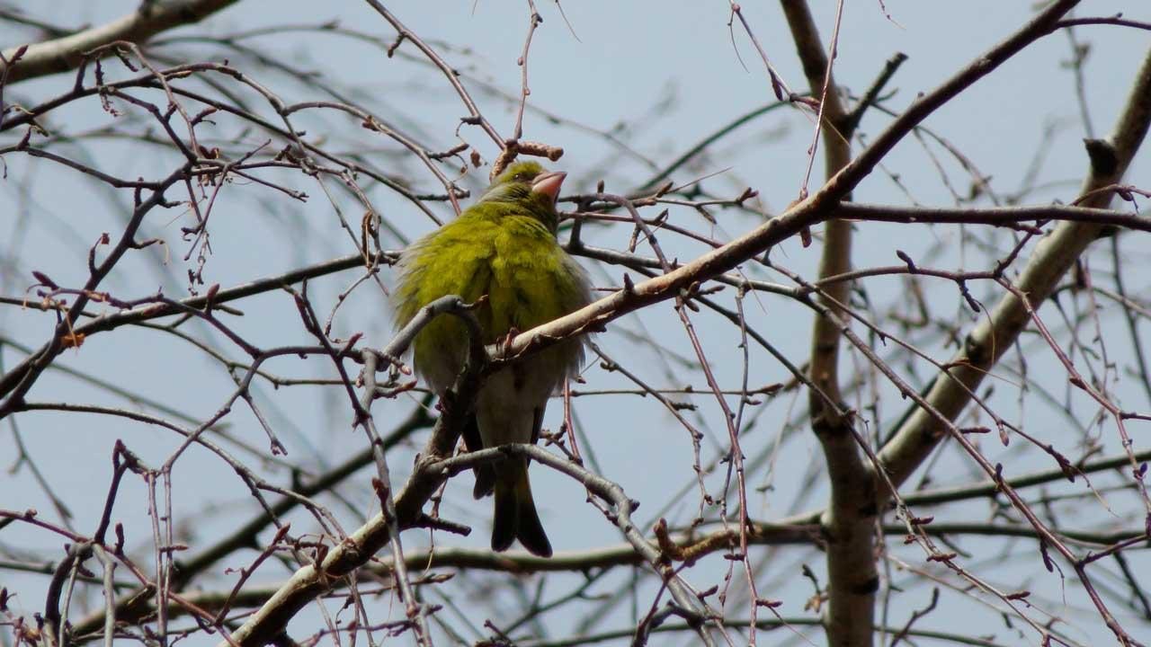 Лесные канарейки: в Челябинской области заметили необычных певчих птиц