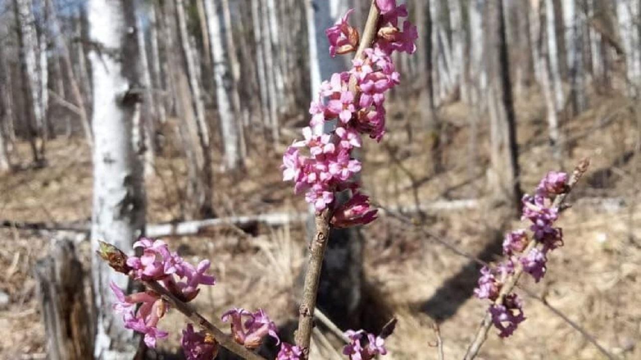 Опасные цветы: чертов обгрызок зацвел на Южном Урале