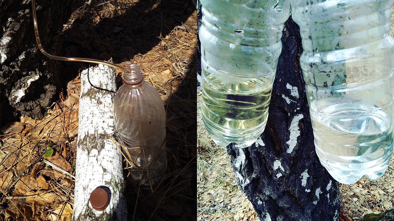 Льется рекой: сбор березового сока начался на Урале