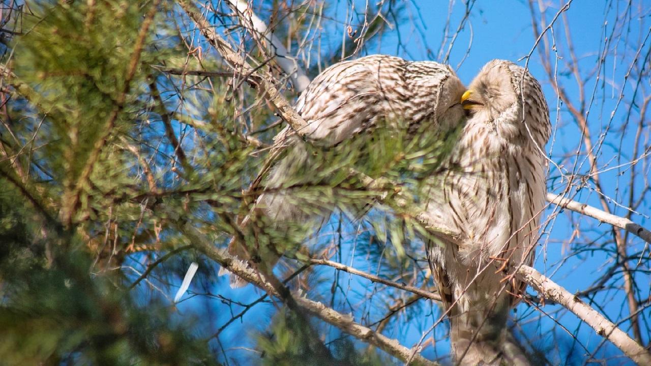 Ласковые хищники: в Челябинске запечатлели нежные объятия сов