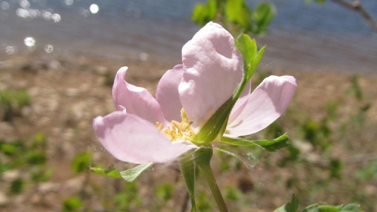 Природные аномалии: на Урале зацвели «дикие розы»