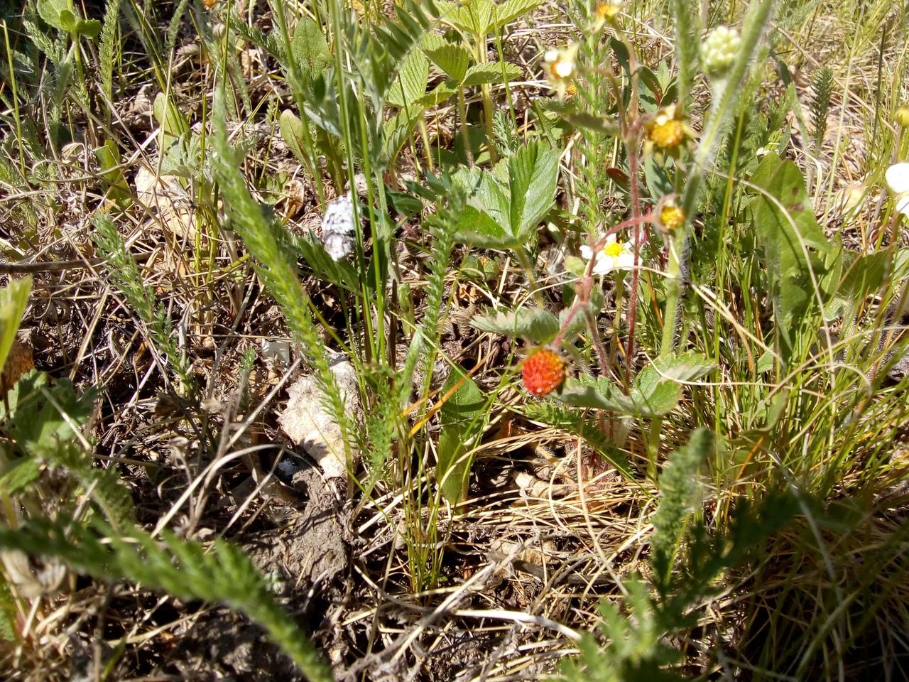 Богатый урожай земляники заметили на Южном Урале