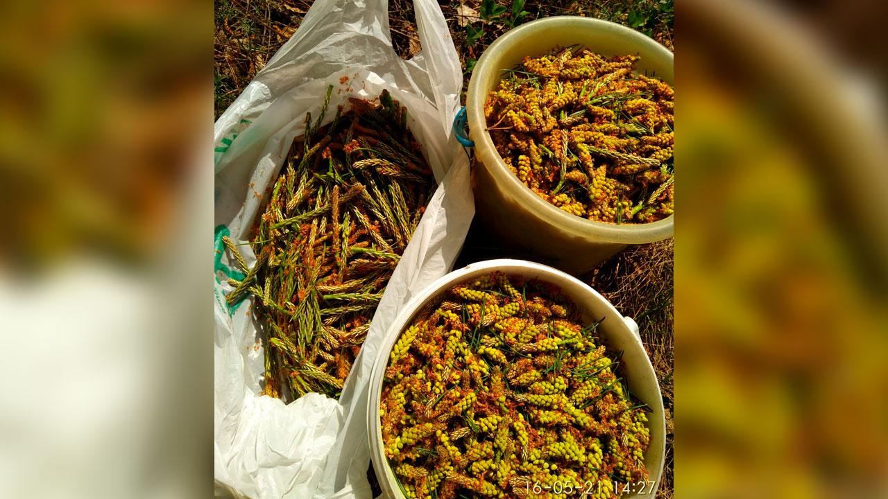 Драгоценная пыльца: жители Челябинской области устремились в сосновые леса