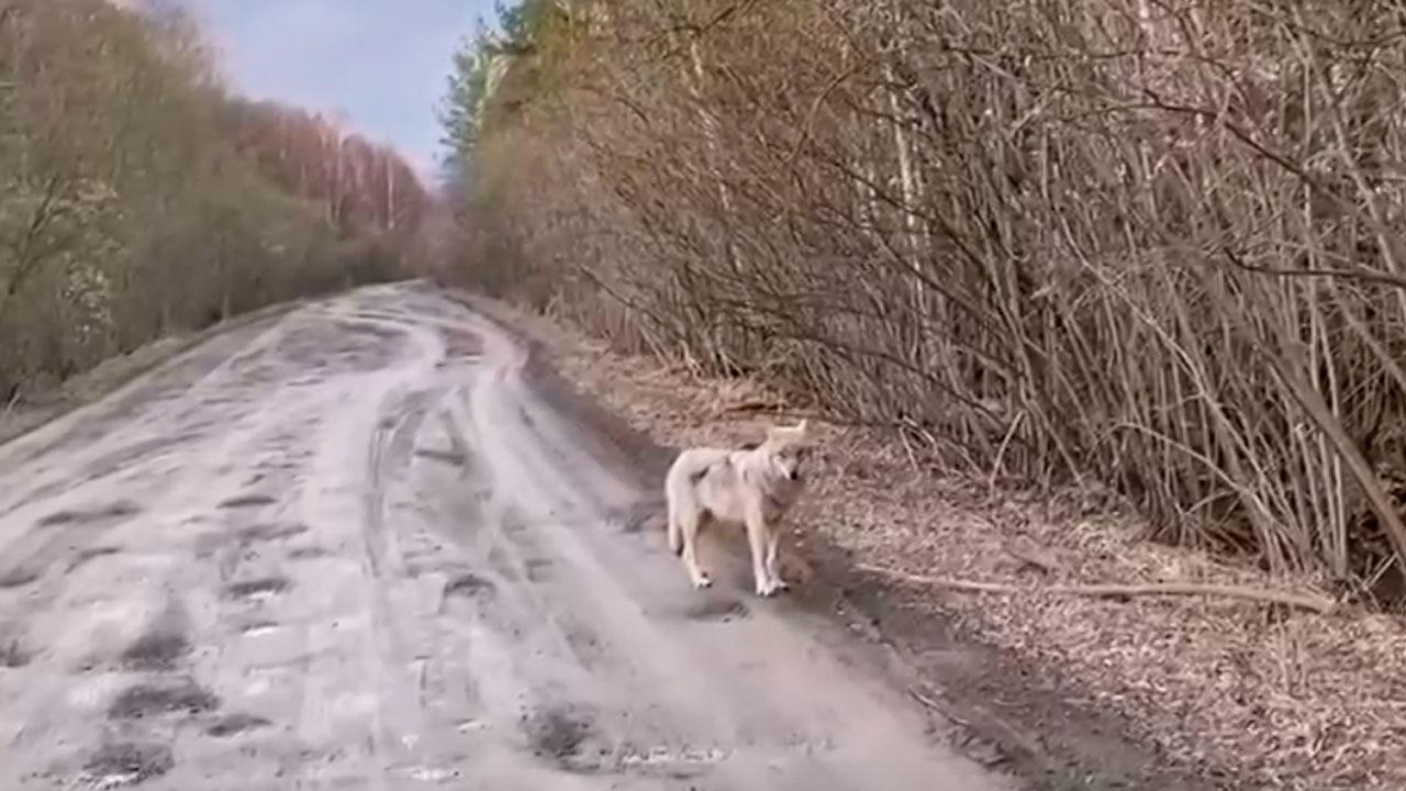 «Почти обычное дело»: на дороге в Челябинской области встретили волка ВИДЕО