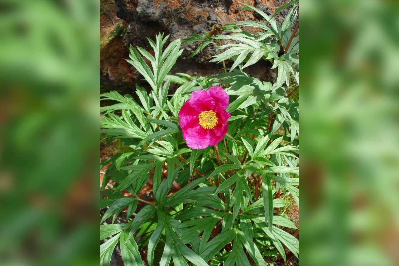 5 редких растений Челябинской области: уникальные и необычные цветы и травы