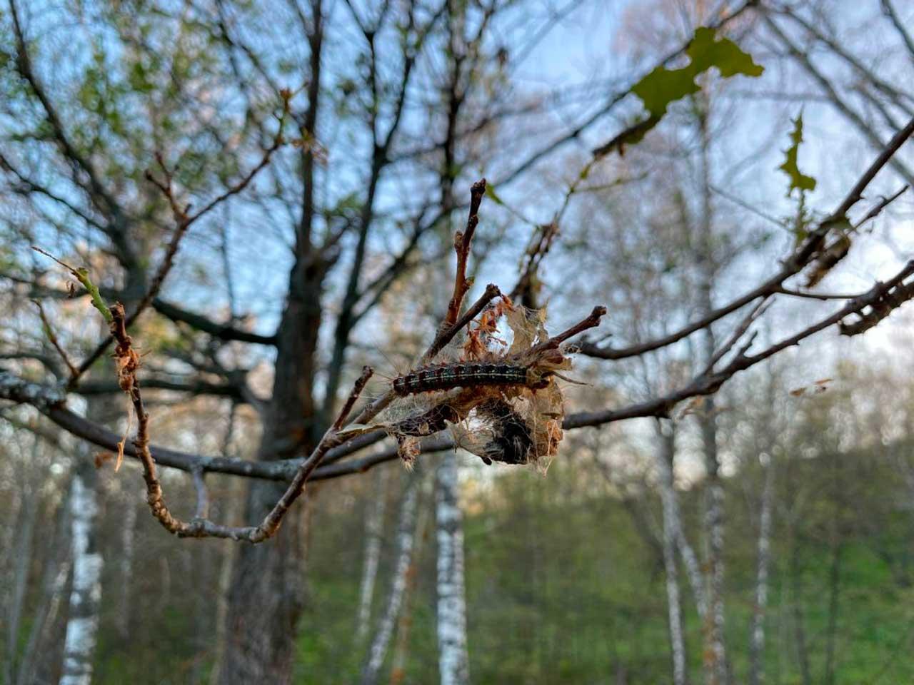 Деревья стоят лысые: на Южном Урале нашествие волосатых гусениц
