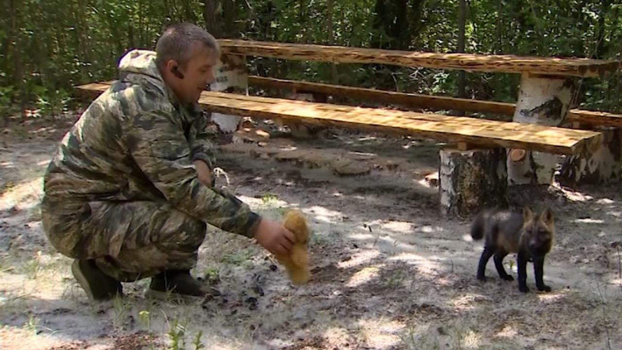 Растет по часам: как уральские лесники спасли новорожденного лисенка