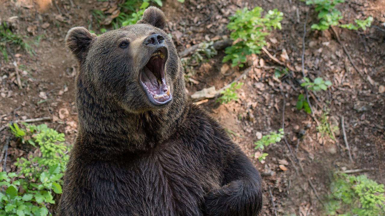 Гаджеты заинтересовали медведя из нацпарка в Челябинской области ВИДЕО