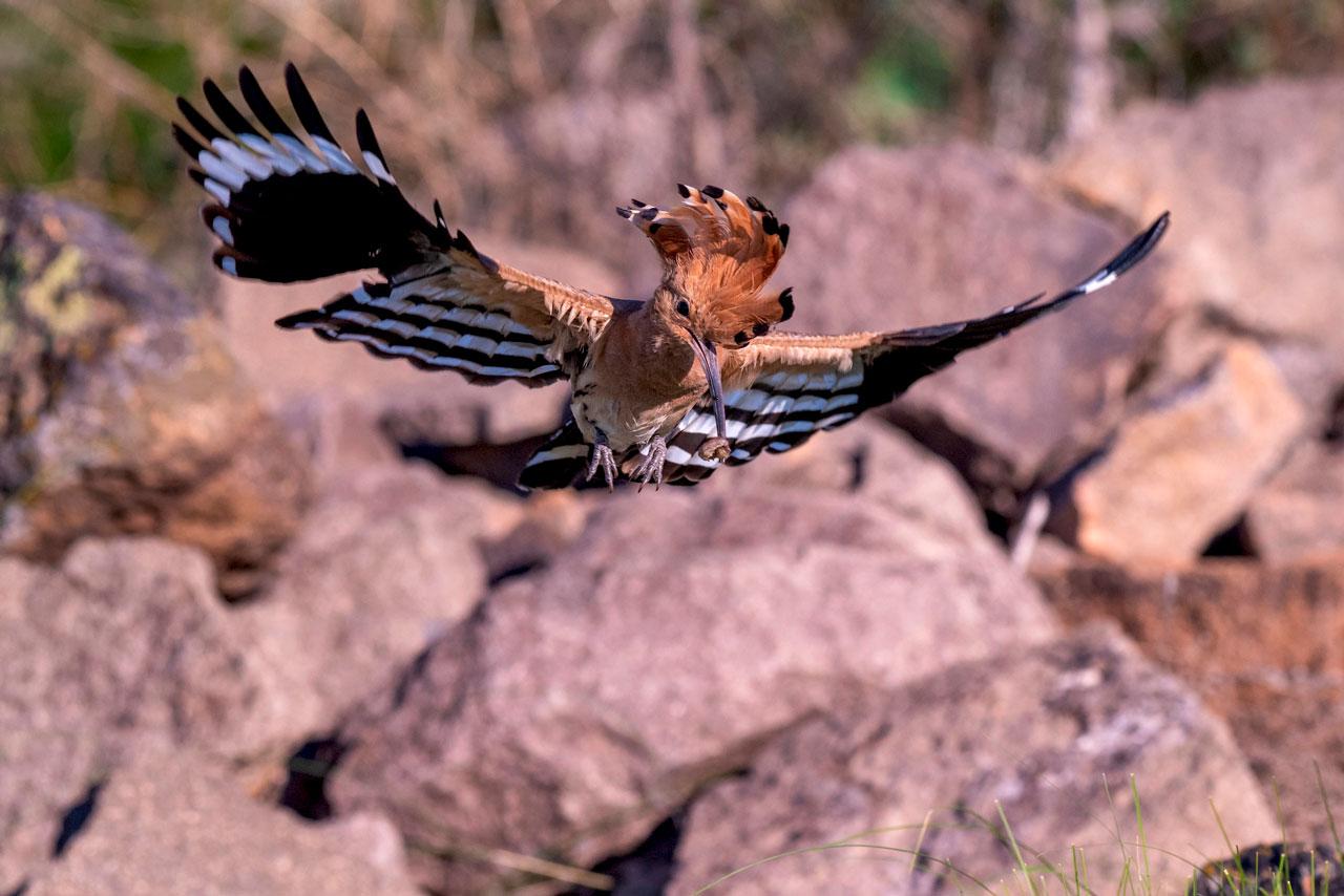 Нарядных птиц с коронами заснял фотограф из Челябинской области