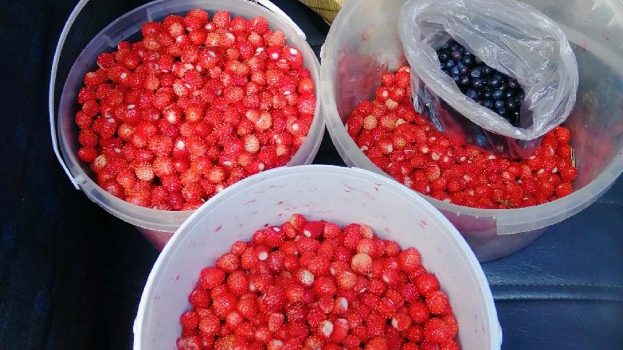 Королевская ягода. В Челябинской области созрела черника