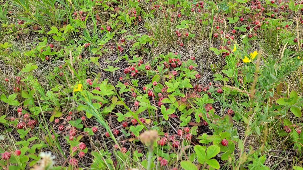 Поляны все красные: в Челябинской области аномально много клубники