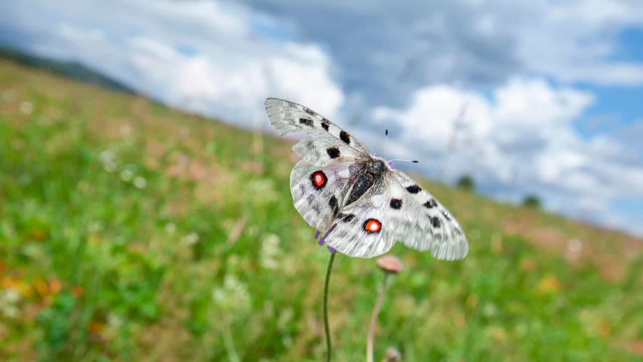 Редкая красавица: божественную бабочку заметили в Челябинской области