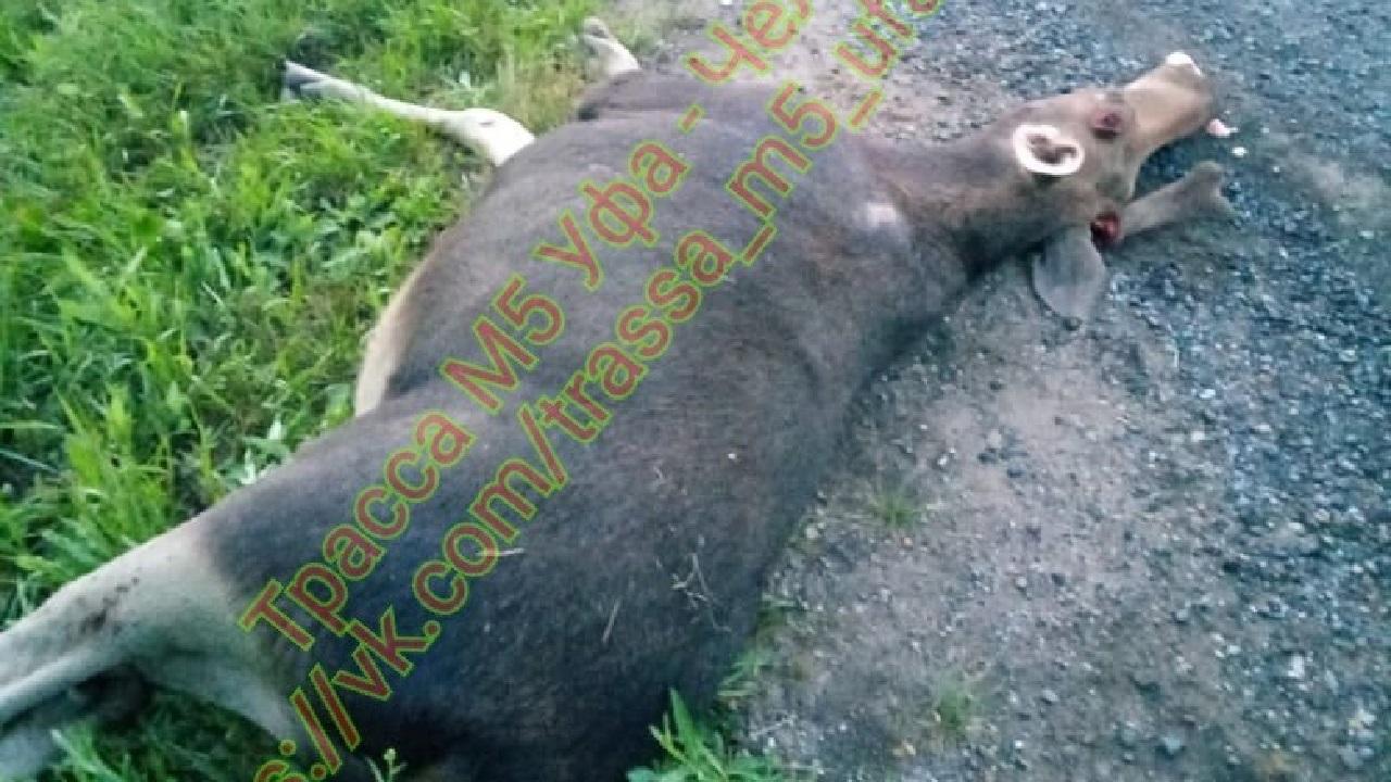Внедорожник насмерть сбил лося в Челябинской области