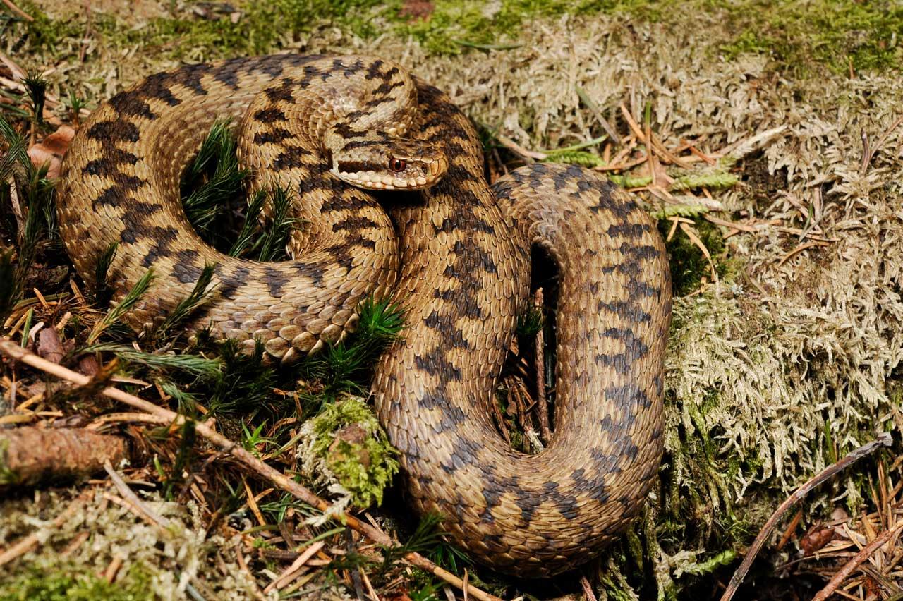 Укусила гадюка: первая помощь и что нельзя делать при встрече со змеей