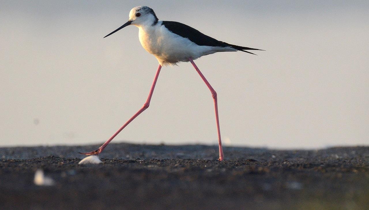 Широко шагает: смешную птицу из Красной книги увидели в Челябинской области