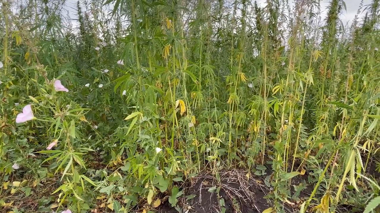 2 гектара конопли: в Челябинской области задержали изготовителя наркотиков