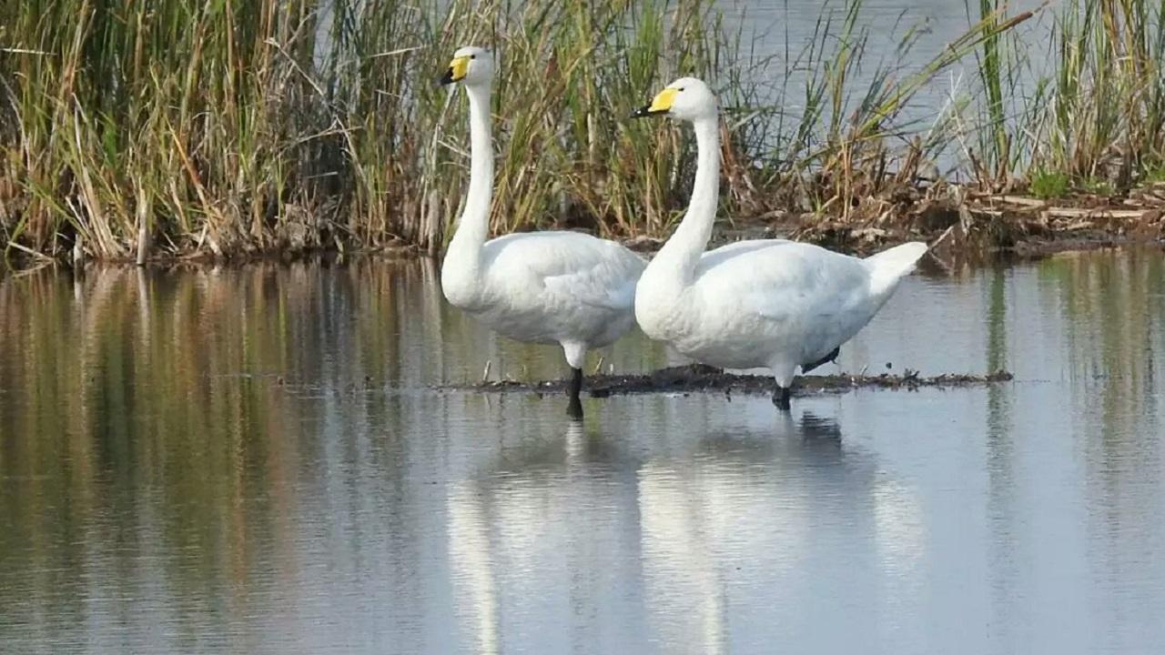 В Челябинской области заметили семью редких лебедей ФОТО