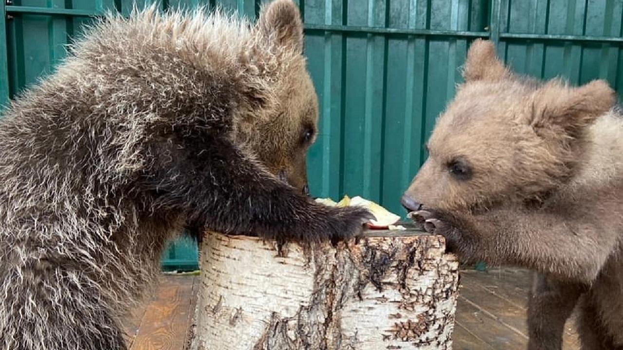 Спасенные медвежата из Челябинской области переехали в Хабаровск