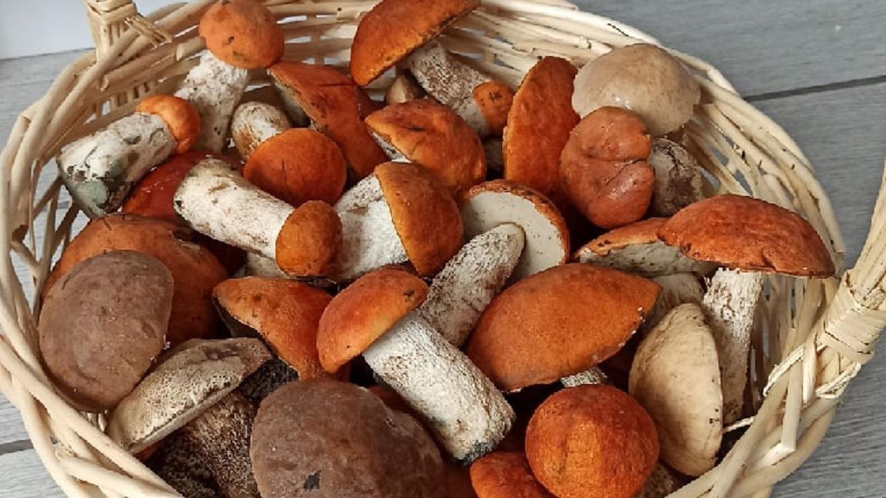 Размером с голову: грибы-гиганты собирают на Южном Урале