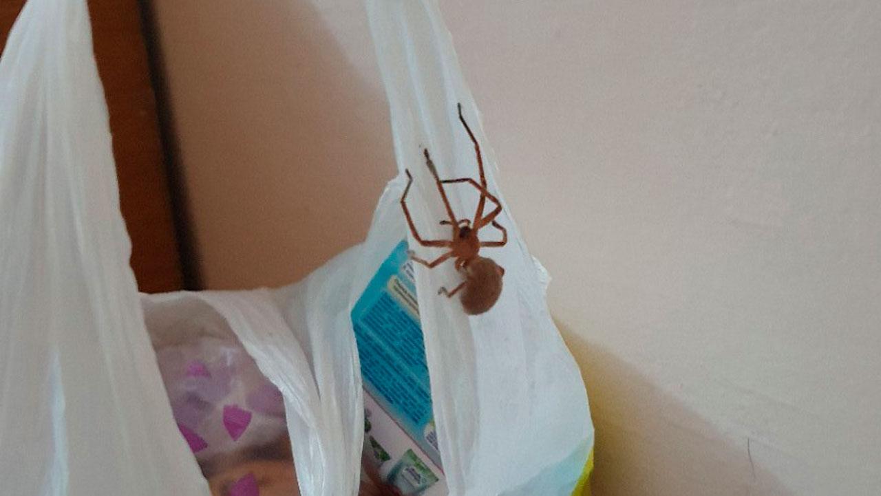 «Заглянул в гости»: гигантского паука засняли в Челябинской области