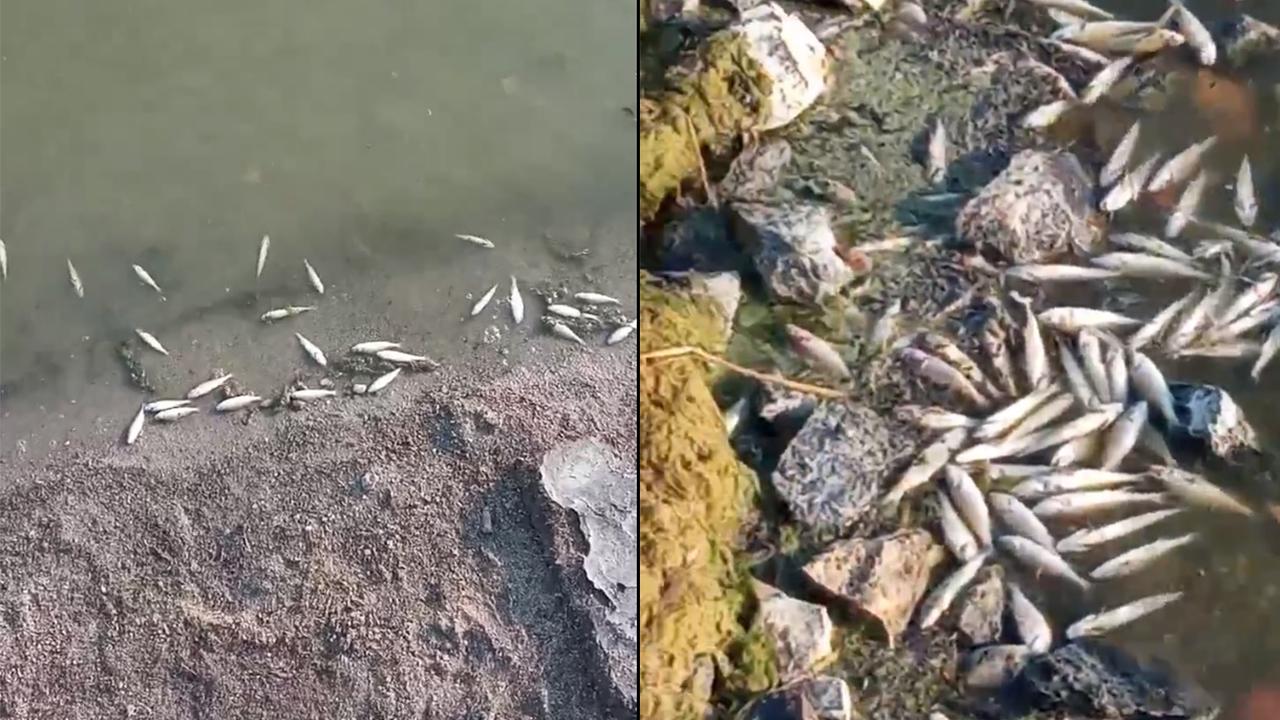 «Весь пляж в дохлых тушках». На озерах Челябинской области погибает рыба ВИДЕО