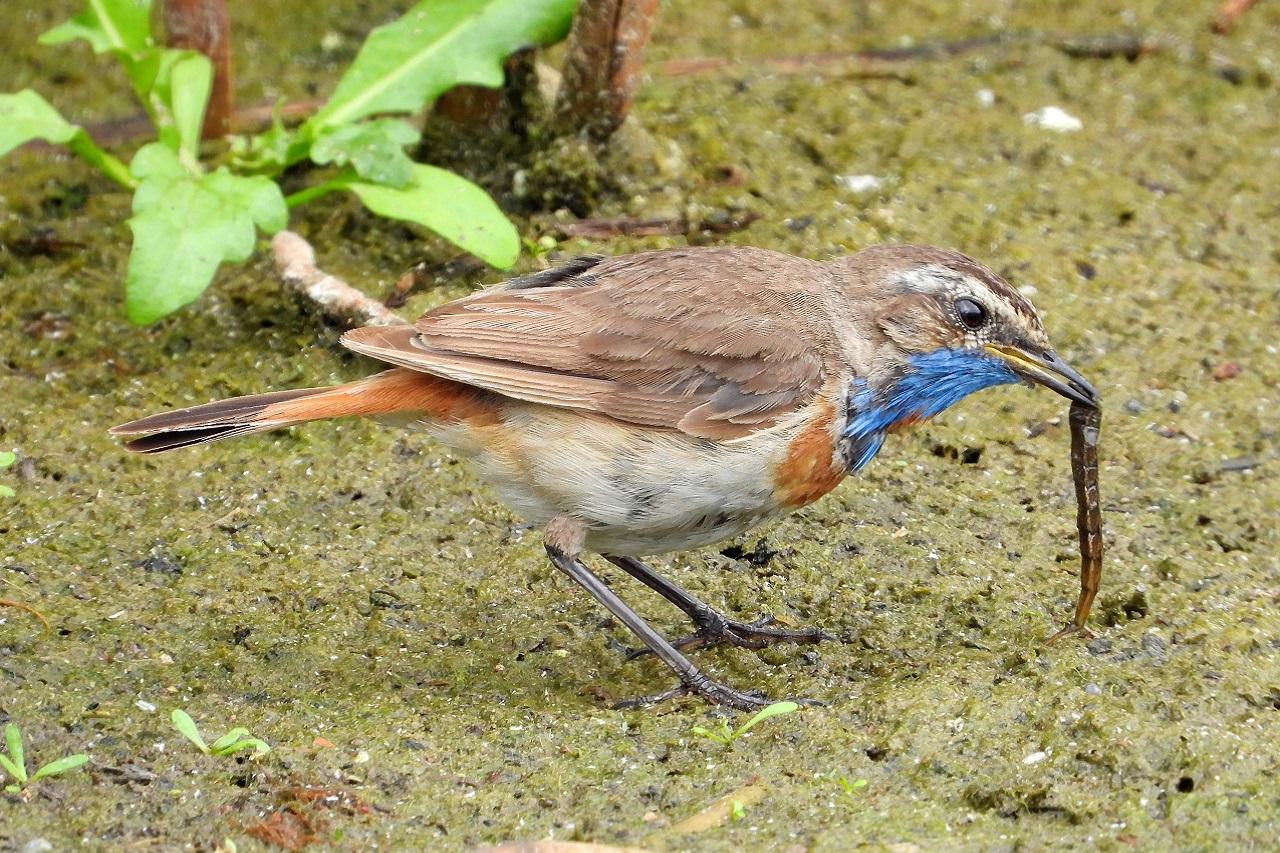 Поймали за обедом: поющую птицу-охотника заметили в Челябинской области