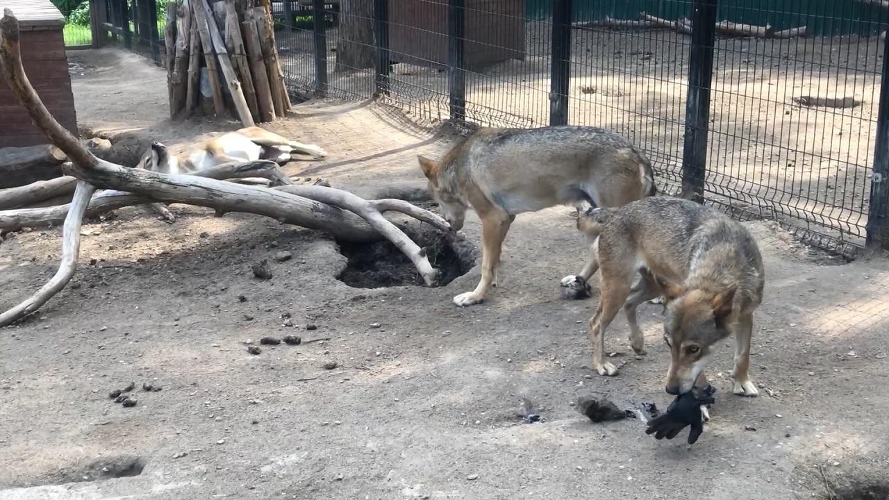 Зацепил запах: волки в Челябинске «примерили» модные и ароматные наряды ВИДЕО