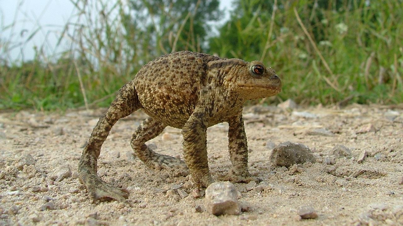 Мастер маскировки: ядовитую жабу заметили в Челябинской области