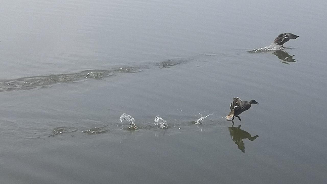 Утки в Челябинской области устроили свою Олимпиаду ФОТО