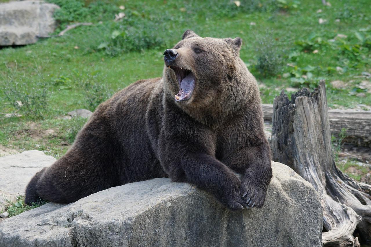 2 медведя потеряли страх и облюбовали горнолыжный курорт на Урале ВИДЕО