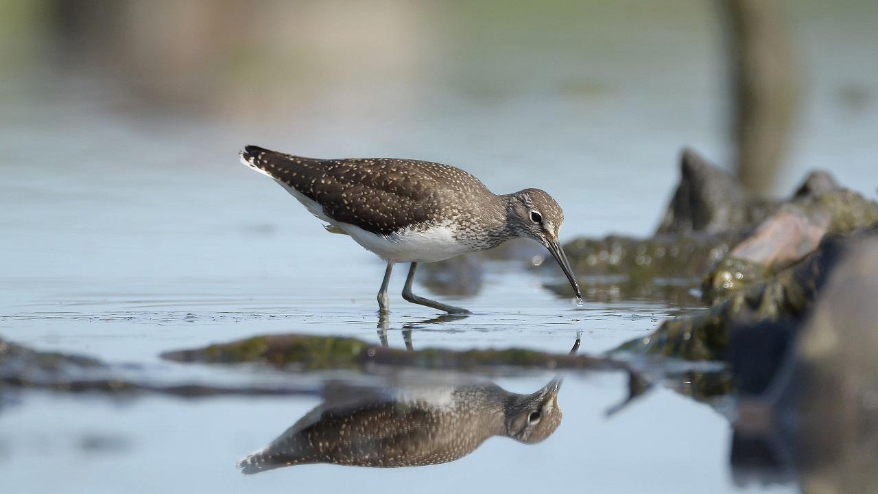 В Челябинской области сняли охоту забавной птицы на шпильках
