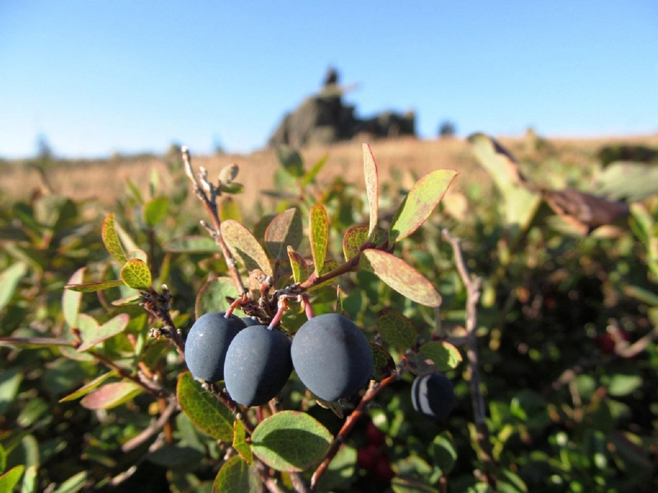 Земля вся синяя: в горах Челябинской области созрели тонны голубики