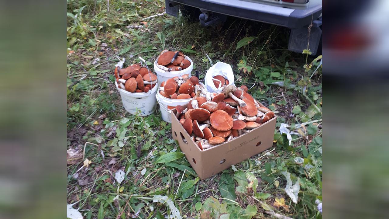Несколько ведер за час: грибники Челябинской области удивляют небывалым урожаем