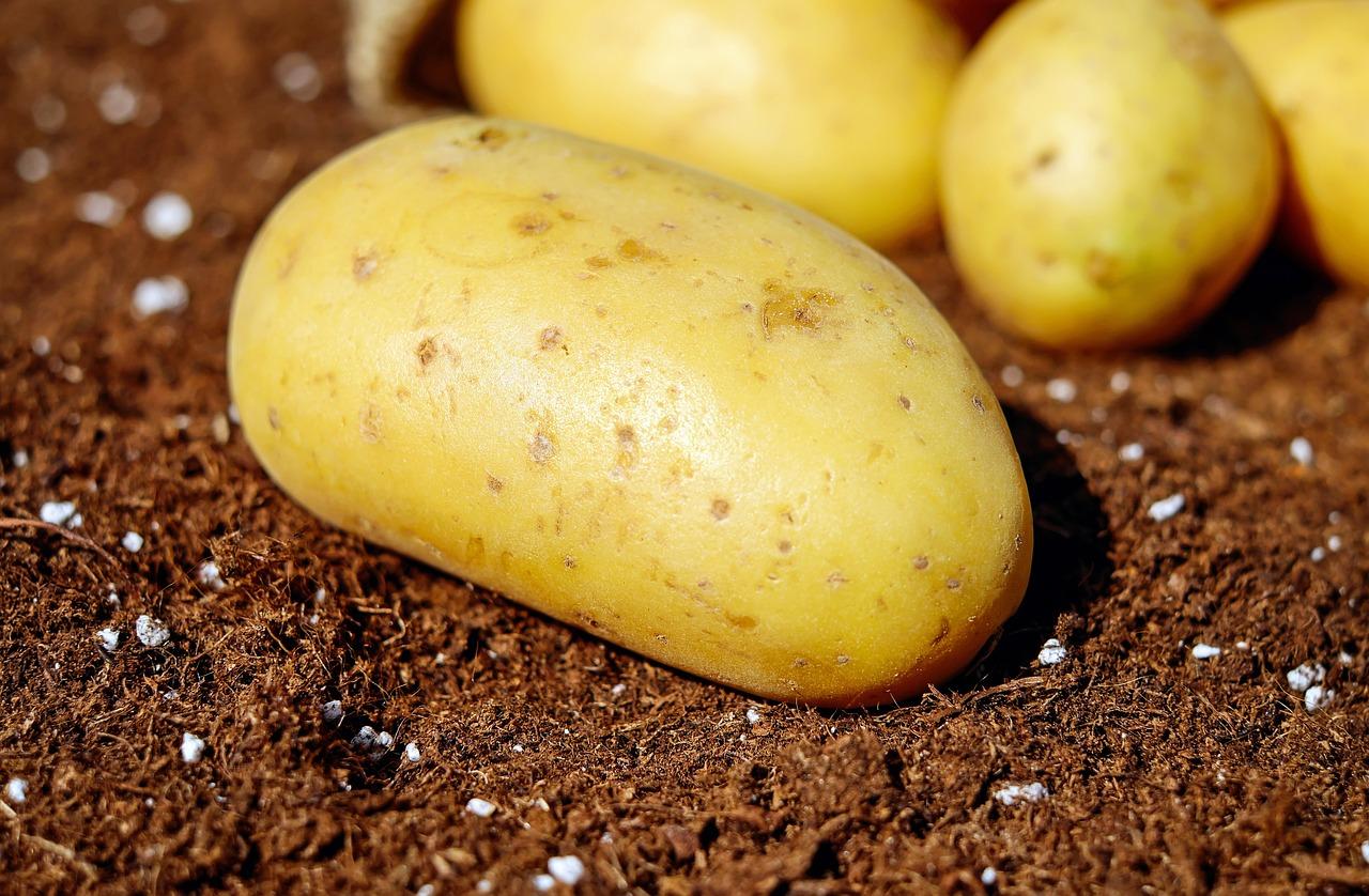 Свежий урожай: сбор картофеля начали на Южном Урале