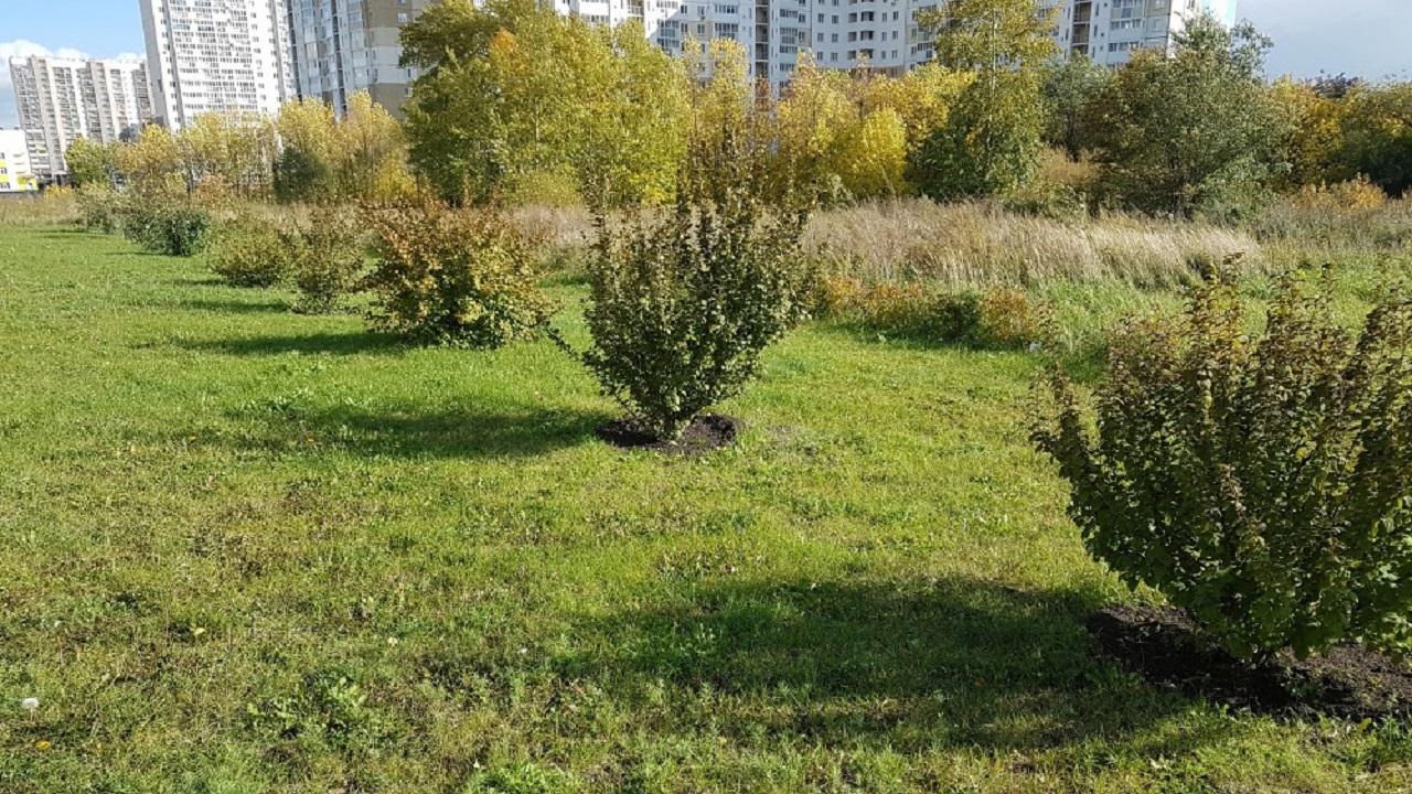 Работы остановили: когда и где в Челябинске заменят засохшие деревья