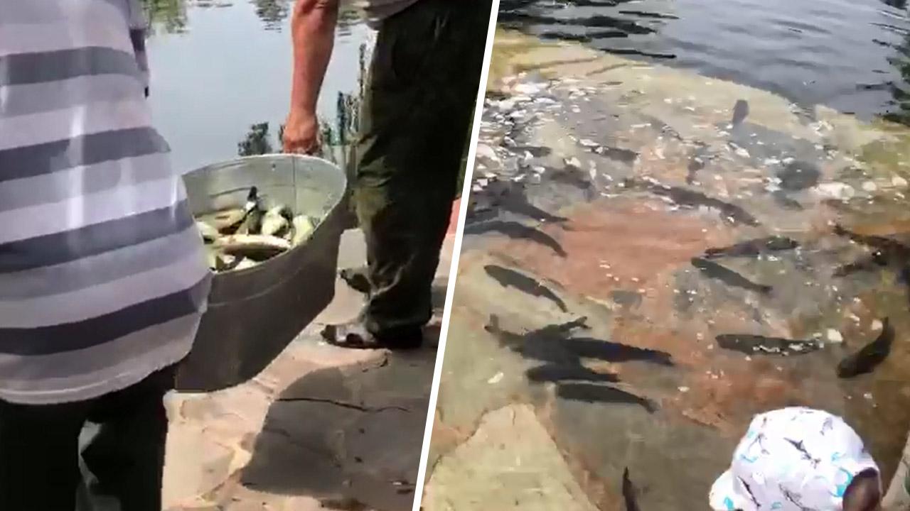 Подводные уборщики: белые амуры поселились в челябинском карьере ВИДЕО