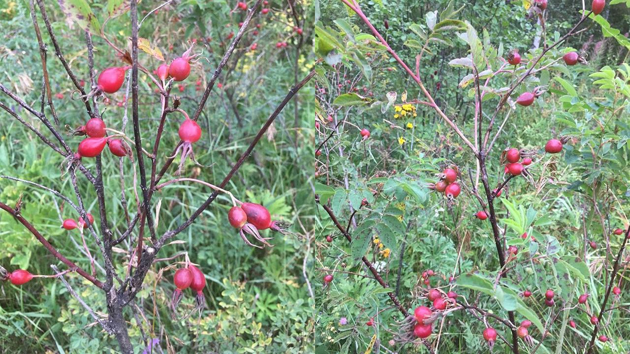 В Челябинской области рекордно рано созрел урожай шиповника
