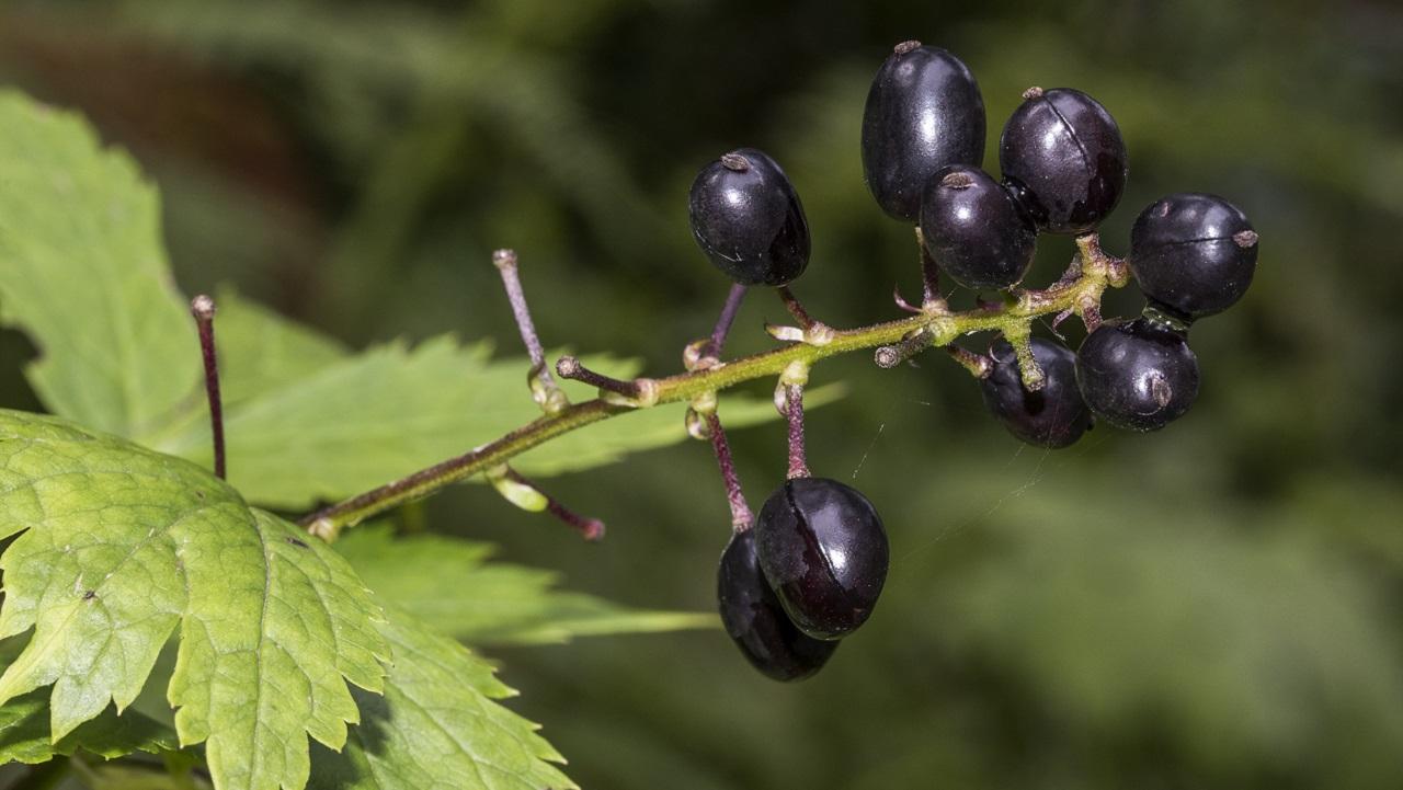 Похожа на чернику: в Челябинской области созрели ядовитые ягоды