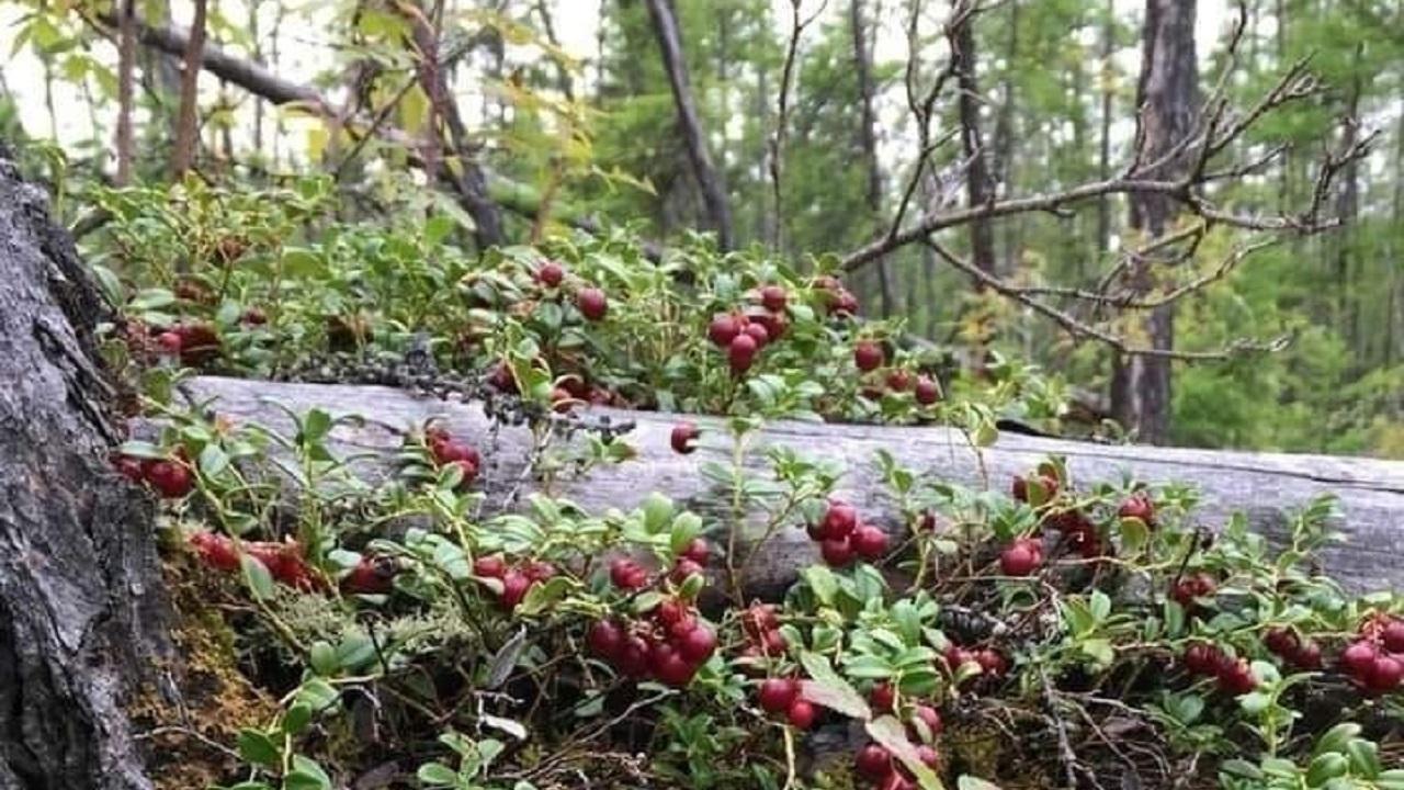 Брусника созрела: жители Челябинской области нашли плантации ягод ФОТО