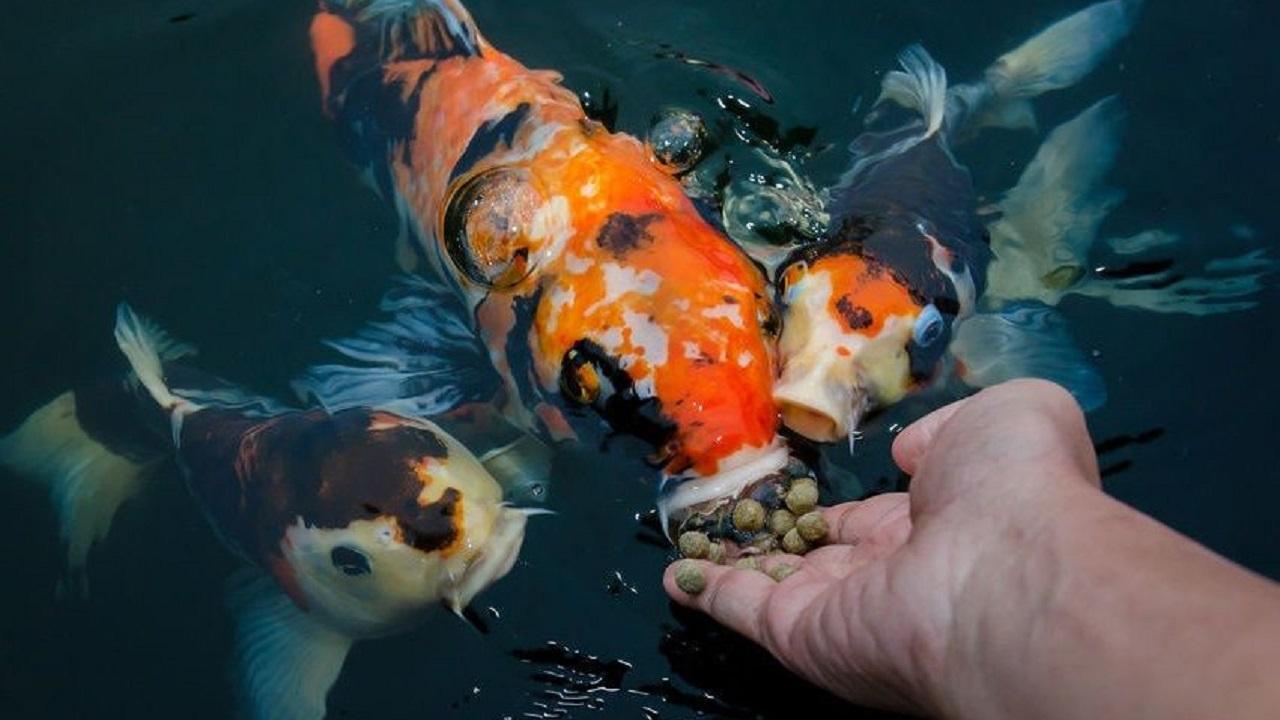 Настоящую золотую рыбку поймали в Челябинской области